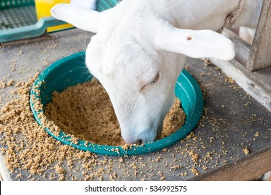 Close up of Goat eating food for animals.