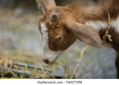 Close up Goat is eating grass.