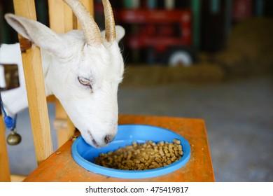 Close up Goat Feeding At Farm.Goat eating at farm.