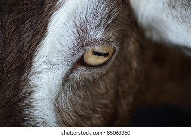 Close up of goat's eye
