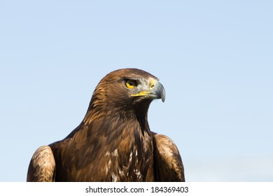 Close up of golden eagle