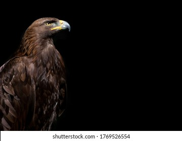 Close up of Golden Eagle head on the black background