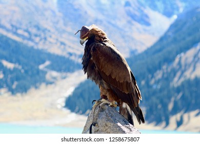 Close up of Golden Eagle Hunter in Almaty, Kazakhstan