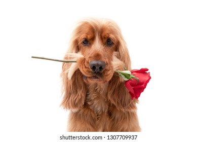 Close up of a golden English Cocker Spaniel holding a single red rose in his mouth isolated against a white background