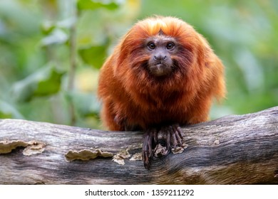 Close up of Golden lion tamarin monkey on tree