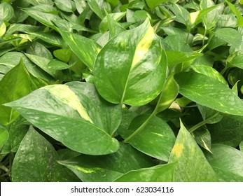 close up Golden Pothos or Devil's ivy bush , indoor decorate, interior plant