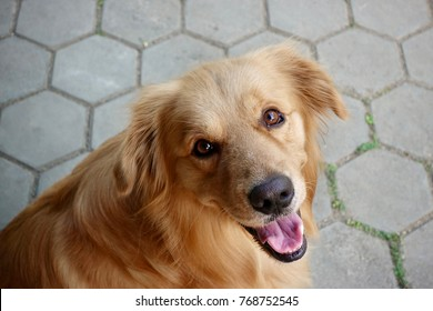 close up the golden retrieve dog looking at me and smile