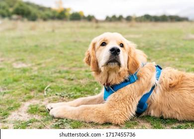 Close up of Golden Retriever puppy dog enjoying outdoors at a large grass field