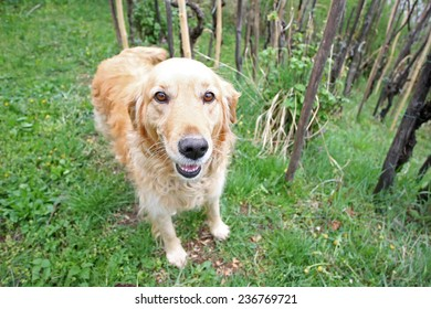 A close up of a golden retriever in the vineyard.
