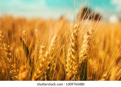 Close up of golden ripe wheat ear with grains, selective focus
