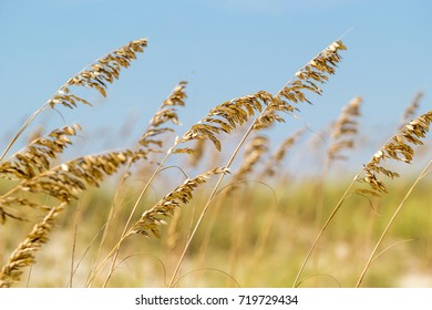 Close up of golden sea oats blowing in the beach breeze with grassy dunes, sand, and blue skies in the background