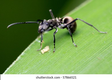 Close up of a Golden tailed Spiny Ant