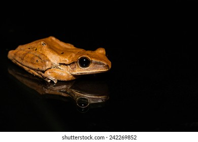 Close up golden tree frog on glass