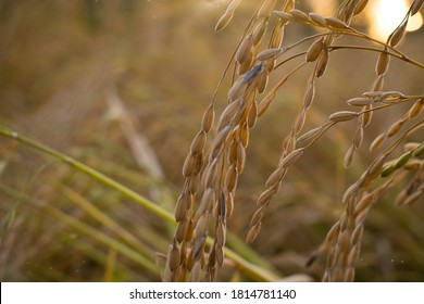 close up of  golden yellow rice with blurred background. the season of harvesting rice in india.