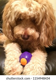 Close up of goldendoodle with toy