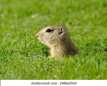 Close Up of a Gopher