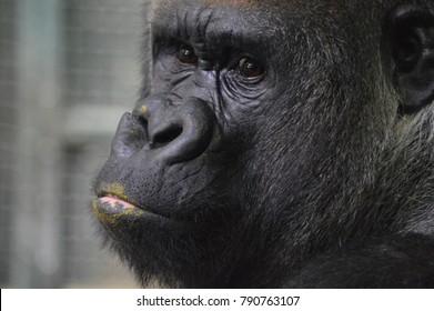 Close up of a gorilla