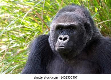 Close up Gorilla portrait near green grass