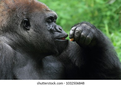 Close up gorilla smelling food