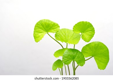 close up Gotu kola (Centella asiatica) leaves on white background