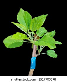 A close up of the grafting of apple-tree. Isolated on black.