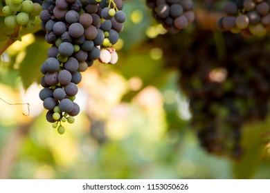 Close Up of Grapes in August Before the Grape Harvest. Italy