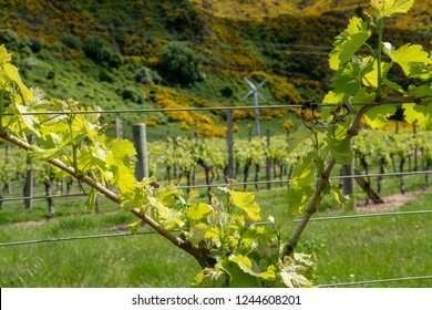 Close up of grapevine growing  in  Blenheim,with rows of grapevines and frost fan beyond in Blenheim, South Island, New Zealand.