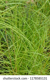 Close up of the grass Miscanthus sinensis 'Nippon'