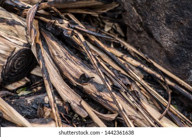 Close up of grass and reed burnt in a wild fire on a late afternoon