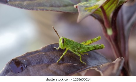 close up of grasshopper on the red leaf