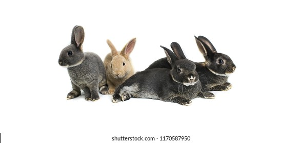 Close up gray baby rabbits 3 month old on a white background. Group of Short hair adorable baby rabbit, Beautiful easter bunny rabbit use for easter holiday concept. (color : Brown, Black, dot, gray)