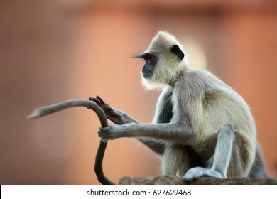 Close up Gray langur, Semnopithecus entellus, monkey sitting on the brick wall against red Jetavanaramaya temple, with long tail in the air in front of him. World heritage city Anuradhapura,Sri Lanka.