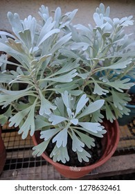 Close up of gray Sagebrush leaves (Artemisia tridentata) in a pot