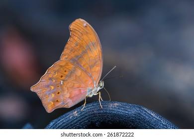 Close up of Great Assyrian (Terinos atlita) butterfly
