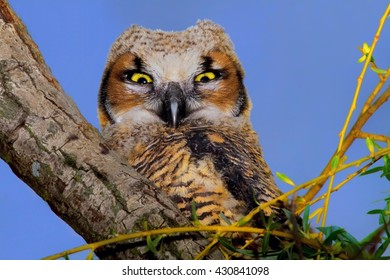 Close Up Of Great Horned Owlet With Riveting Wide Open Eyes