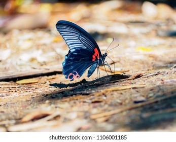 Close up a Great Mormon butterfly (Papilio memnon agenor) with colorful wings on the ground