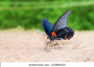 Close up of Great Mormon (Papilio memnon) butterfly mud-puddling on the ground in nature