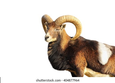close up of great mouflon ram isolated over white ( Ovis orientalis )