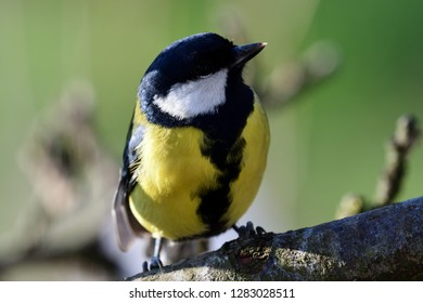 Close up of a great tit (parus major) perching on a branch