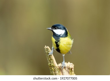 Close up of a Great Tit, perching on a branch in natural woodland habitat and facing left.  Scientific name: Parus Major. Clean background. Horizontal.  Space for copy.
