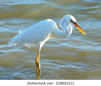 Close up of a Great White Egret (Ardea alba), eating a small fish.