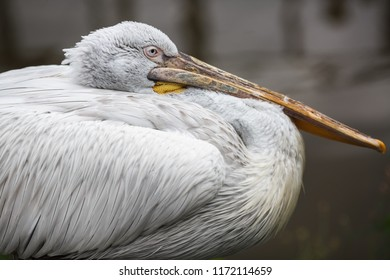 Close up of great white pelican. Pelecanus onocrotalus also known as the eastern white pelican. Selective focus.