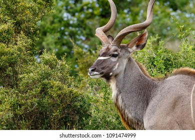 Close up of a Greater Kudu grazing in the green fields of Addo Elephant Park.