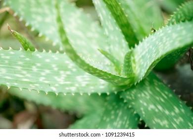 close up green alovera