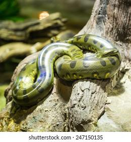 Close up Green anaconda in the jungle