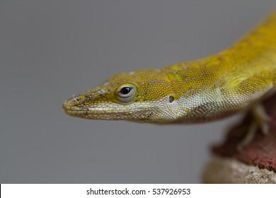 Close up of a Green Anole (Anolis Carolinensis).