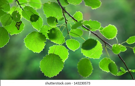 Close up of green aspen leaves in evening light