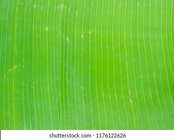 Close up of green banana leaf backgroung
