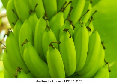 Close Up Green Bananas on Tree on a Plantation