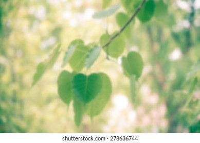 Close up of the green Bothi tree leaves - Blurred picture style